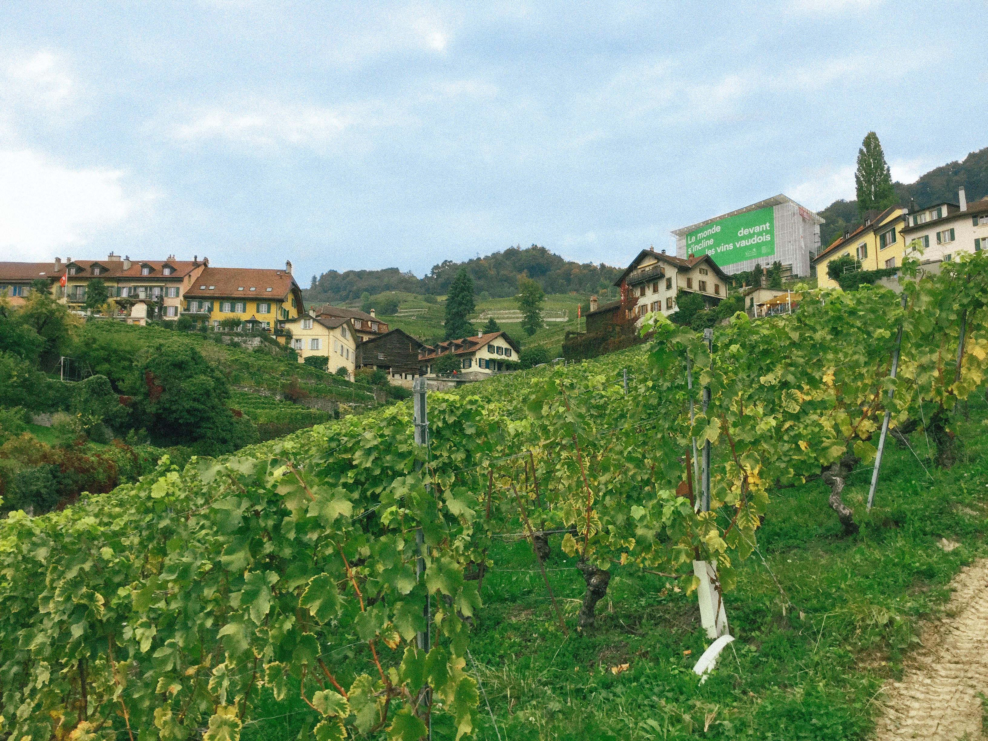 사진2) 보(Vaud) 지역 포도밭 전경